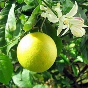 Meyer Lemon Tree-Potted-Fruiting Size